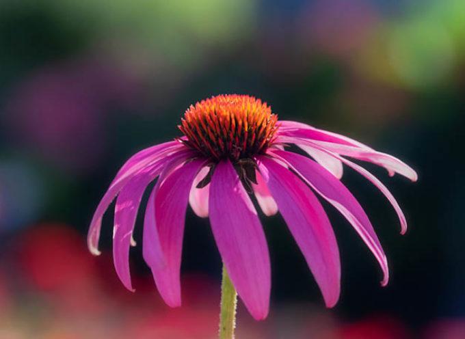 Echinacea: proprietà, usi e controindicazioni del migliore antibiotico naturale