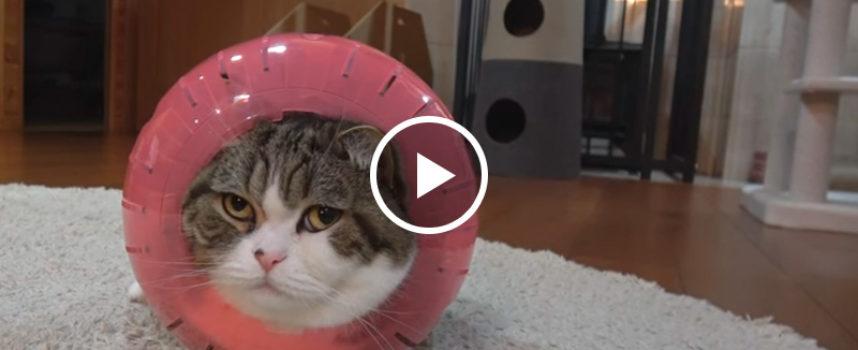 Gattino birichino vuole disperatamente adattarsi all'interno di una palla