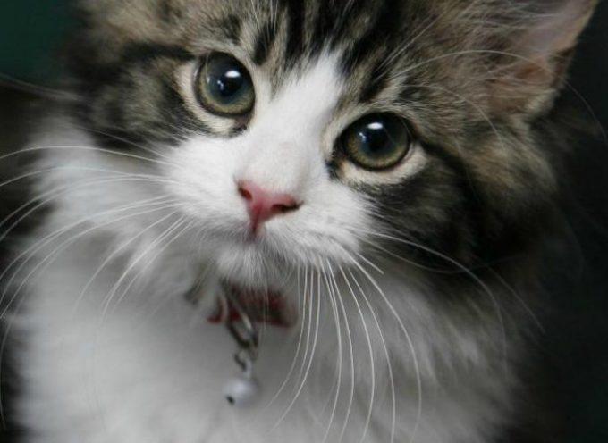 Gatti: il loro cervello è superiore a quello umano
