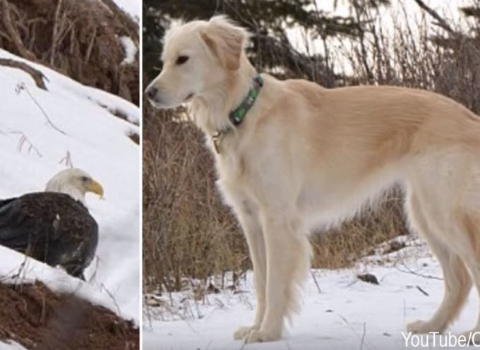Aquila Calva salvata da un Golden Retriever