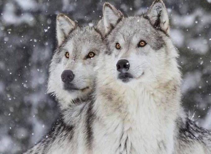 I lupi sono salvi! Salta la votazione sulla legge che voleva abbatterli