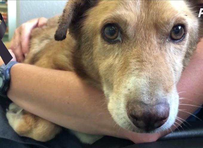 Il cane che è rimasto incatenato per tutta la vita riesce a salvarsi due settimane prima di morire
