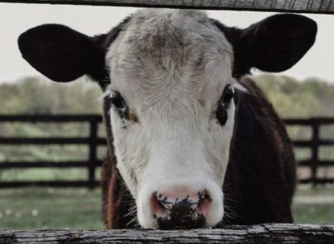 Carne contaminata dalla Polonia, esportata in tutta Europa