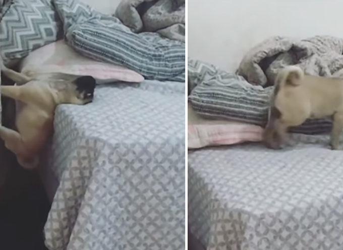 Il modo audace e particolare in cui questo cucciolo si arrampica sul letto fa esplodere milioni di risate