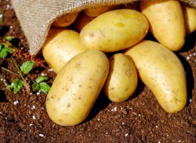 Quando piantare le patate: facciamo il punto della situazione