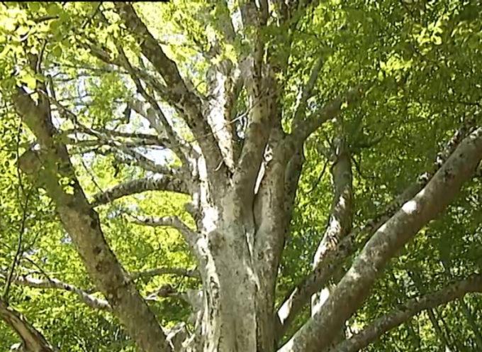 Il faggio di Capanne di Caprignana tra gli alberi monumentali