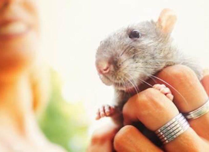 I pro e i contro dei topi come animali domestici