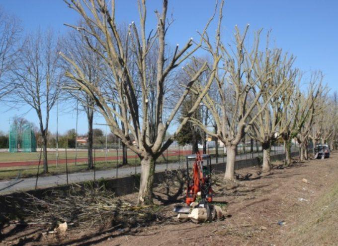 PIETRASANTA – Decoro&sicurezza: 50 nuovo palme sul lungomare
