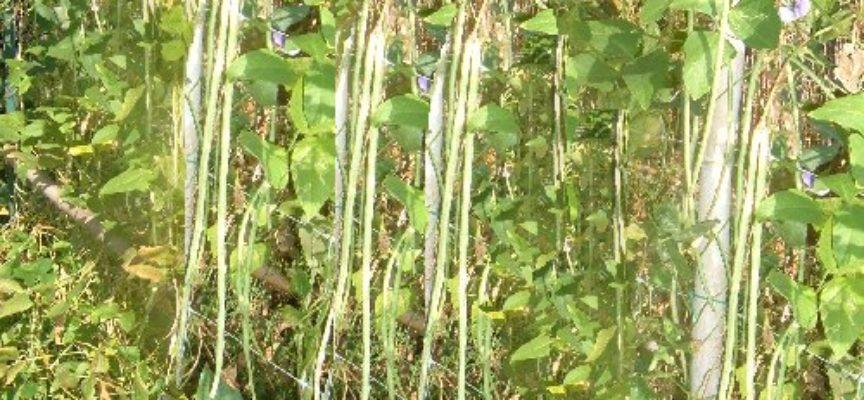 Come coltivare i fagiolini rampicanti: un buon modo per gestire lo spazio