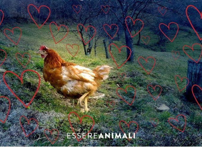 La gallina Lella fuggita da un allevamento intensivo di uova, ha trovato una nuova casa