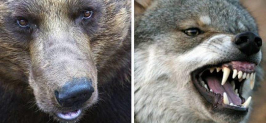 4 Orsi sbranano un lupo davanti ai visitatori in uno zoo olandese