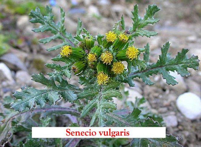 SENECIONE – Senecio Vulgaris,  Caratteristiche: Pianta erbacea annuale con delle radici sottili