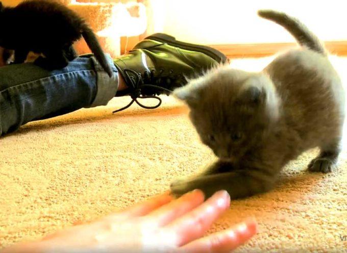 Il piccolo gattino energico gioca adorabilmente con il suo proprietario