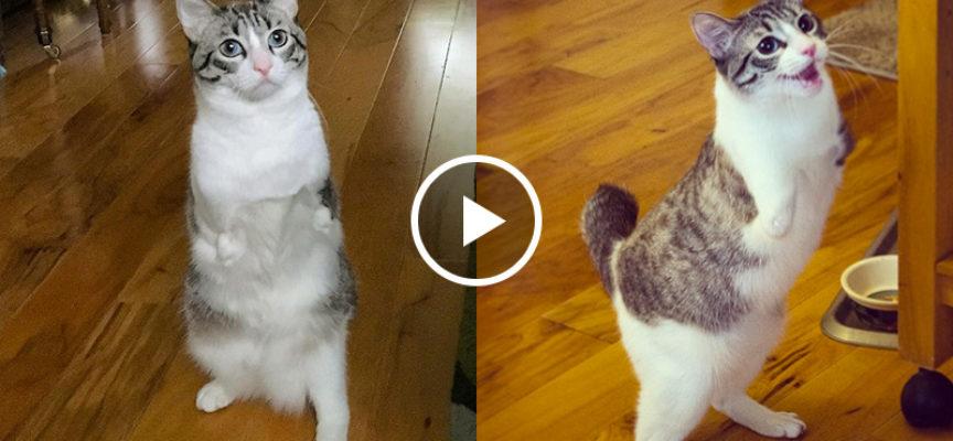 Gatto nasce senza le sue zampe anteriori, la sua disabilità non lo ha rallentato, anzi si muove meglio di un coniglio
