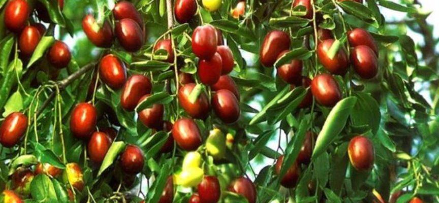 Il corniolo, la coltivazione e le caratteristiche