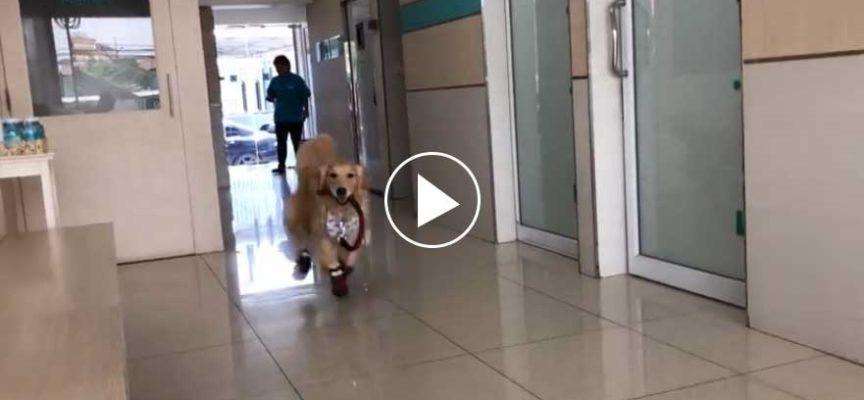Golden Retriever pensa che l'ufficio del veterinario sia un parco giochi