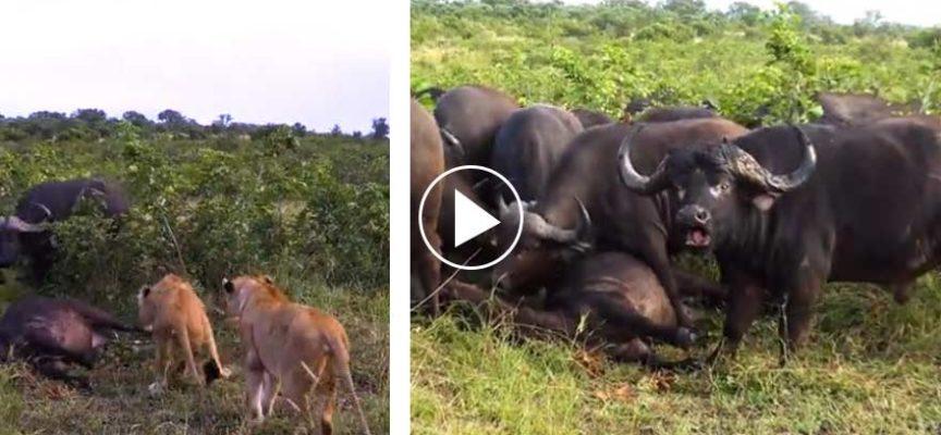 Buffali piangono la femmina morta dopo l'attacco dei leoni