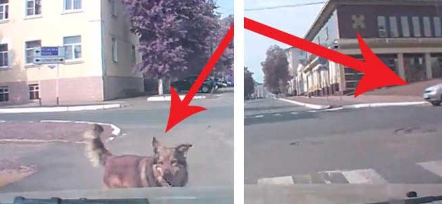 Cane veggente cerca di avvertire l'autista che sta per avere un'incidente