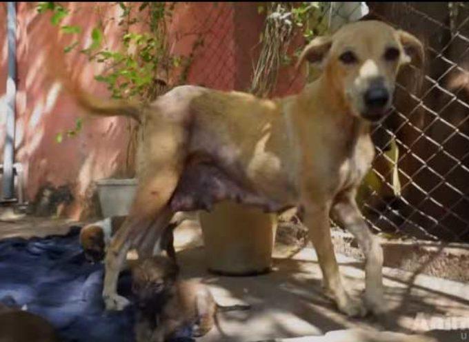 [IMMAGINI FORTI] – Cane randagio rischia la vita per i suoi cuccioli, da un'altro cane, i soccorritori arrivano in tempo