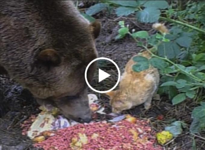 Un orso grizzle di 290 kg fa amicizia con un gatto domestico