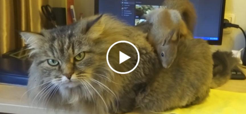 Gatto si fa fare la toelettatura da uno scoiattolo