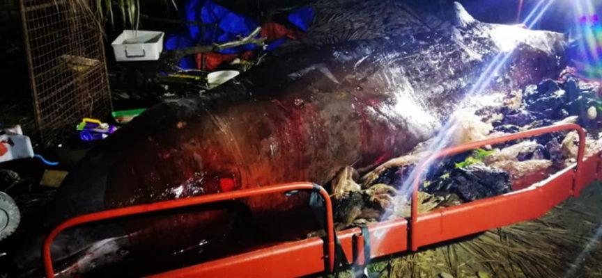 Filippine, trovata balena morta con 40 kg di plastica nello stomaco.
