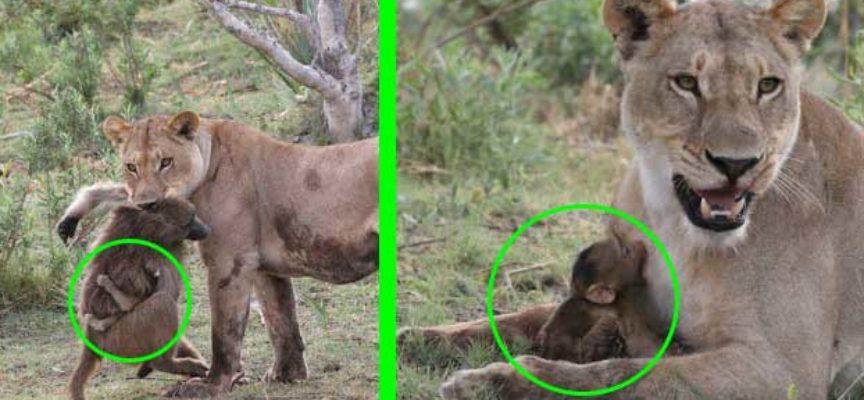 Cucciolo di Babbuino era quasi nelle fauci delle leonesse, ma la reazione della leonessa è stata inaspettata!