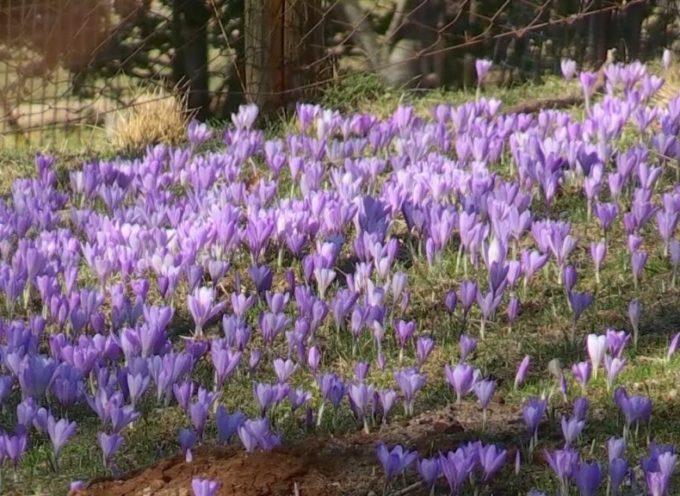 Lo spettacolo della fioritura dei crochi