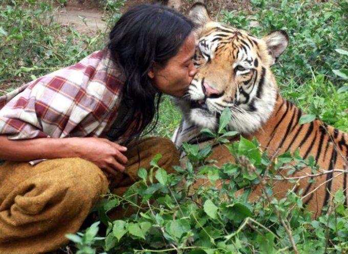 Un uomo indonesiano è il miglior amico di una tigre del Bengala 180 kg