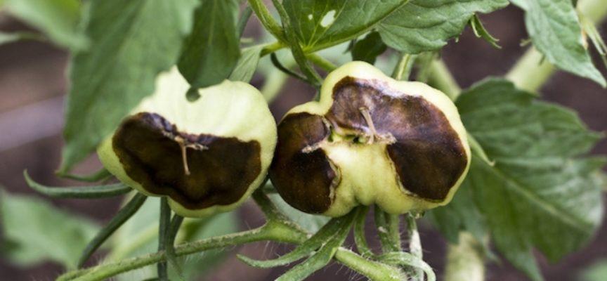Marciume apicale del pomodoro, cos'è e come si previene