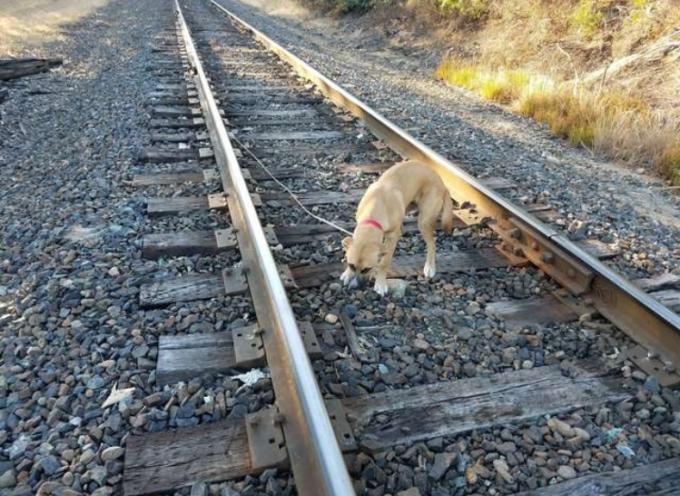 Trova un cucciolo che era stato legato ai binari del treno per farlo morire