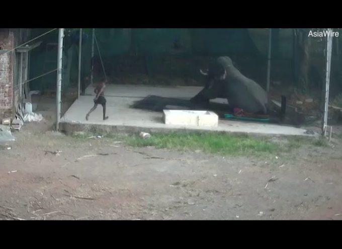 Elefante frustrato dal custode, lui si siede sopra, lo schiaccia e lo uccide.