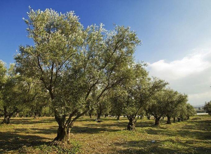 Concimazione olivo: quando e come concimare gli alberi di olive