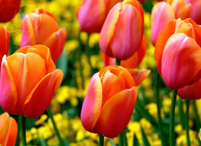 La romantica leggenda della nascita del tulipano, il fiore della primavera e dell'amore