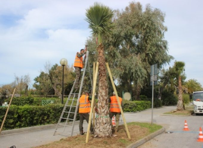 PIETRASANTA – 50 nuovo palme sul lungomare, è più grande piantumazione di sempre