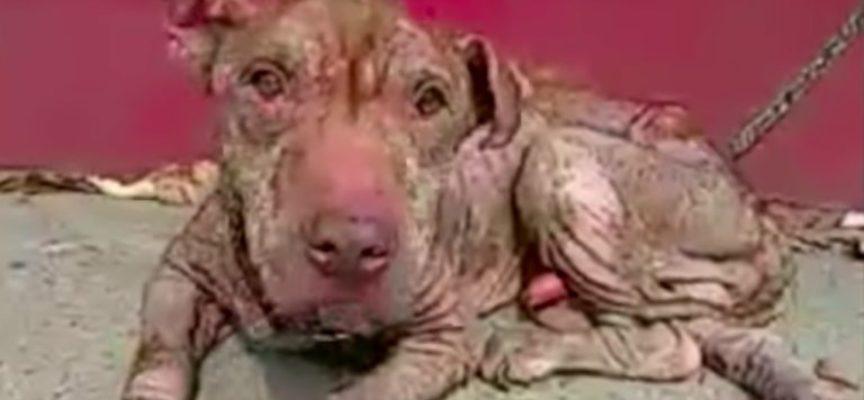 La terribile vita di un Pit Bull che alla fine trovò qualcuno che lo amasse