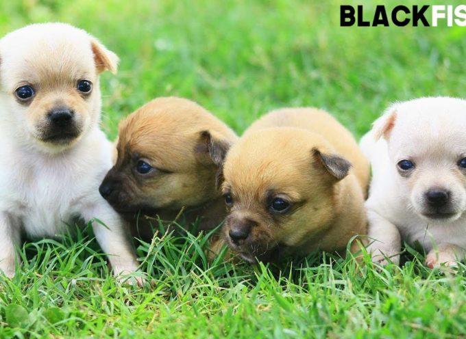Cuccioli di Chihuahua tenerissimi
