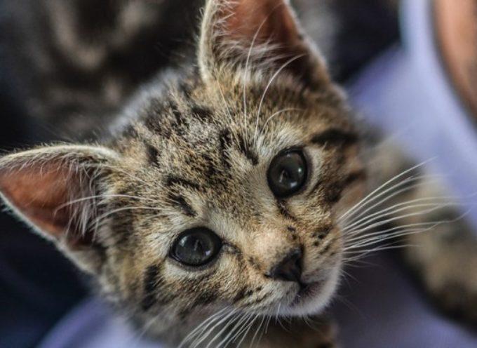 I gatti riconoscono benissimo la voce del loro padrone, però decidono di ignorarla
