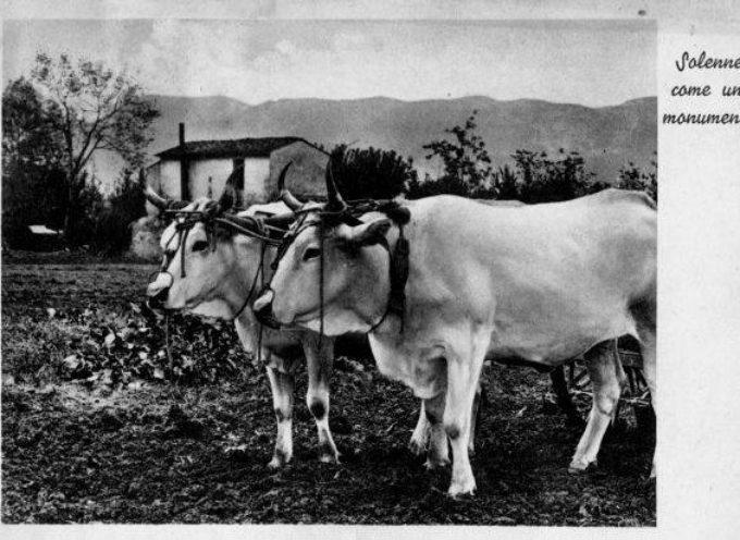 E' stagione di gran lavoro per tutti, anche per i bovini, che ogni giorno devono sottostare al giogo…