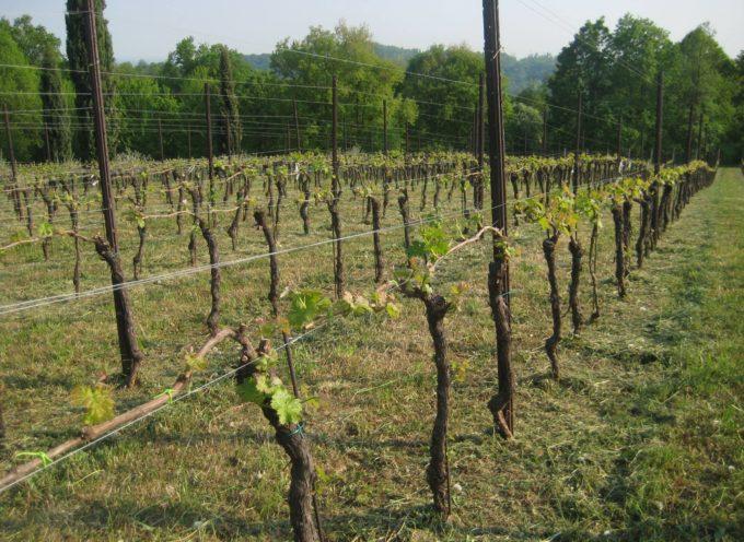 Il risveglio delle vigne.