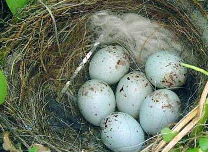 La primavera è la stagione dei nidi.