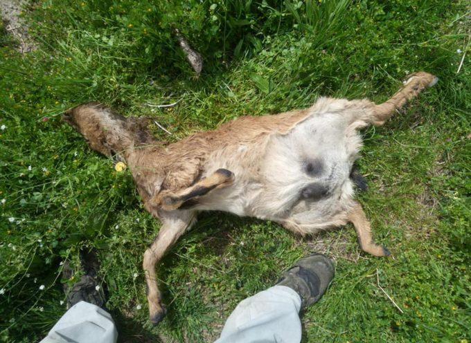 GALLICANO Feroce attacco contro tredici capre: probabile un branco di Lupi