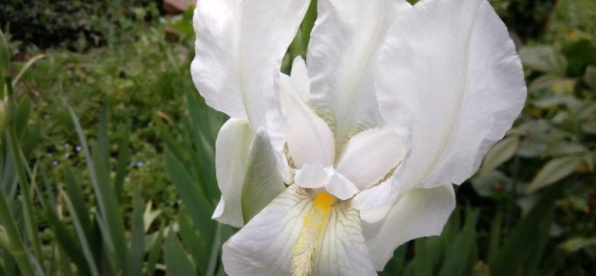 L'Iris Fiorentina, il giaggiolo bianco.