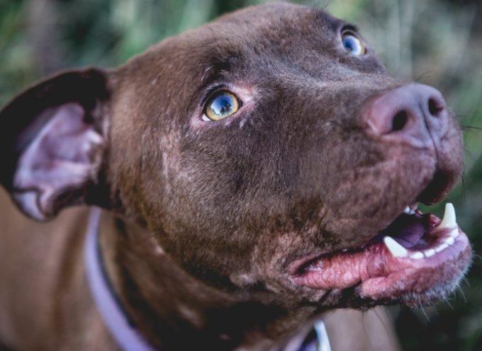 I cani fanno gli occhi languidi per intenerire come i bimbi degli umani.