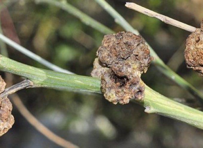 La rogna dell'olivo. Sintomi e prevenzione