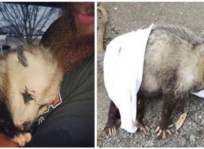 Un opossum gravido e in fin di vita si aggrappa al suo salvatore