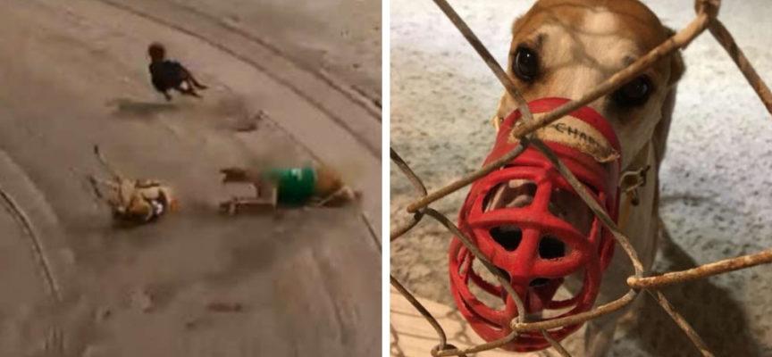 """Lo """"sport"""" crudele fa perde la vita di oltre 400 cani ogni anno, ma una legge può cambiare tutto"""
