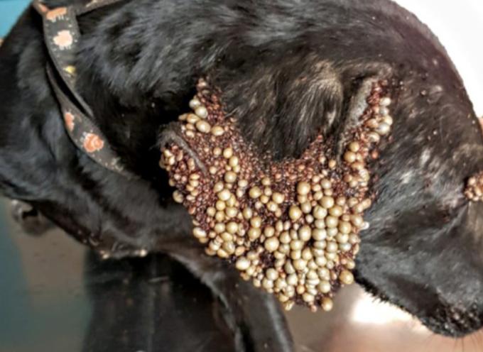 Le orecchie e gli occhi del cane sono coperti da strane protuberanze, il team medico si precipita a salvarle la vita