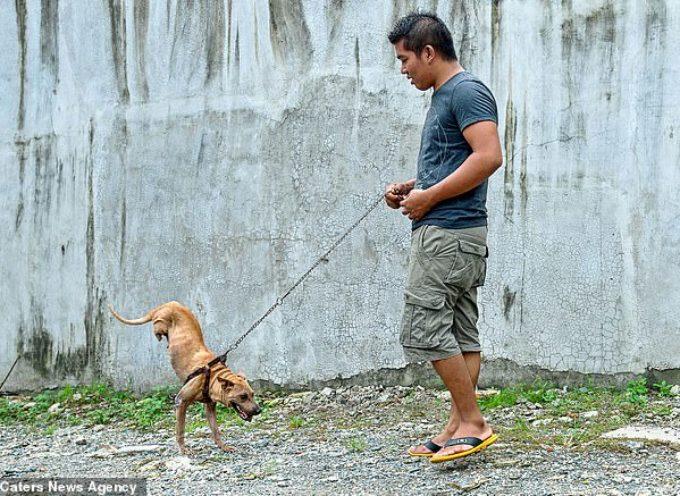 Cane impara a camminare su due zampe dopo essere nato senza le sue zampe posteriori – video