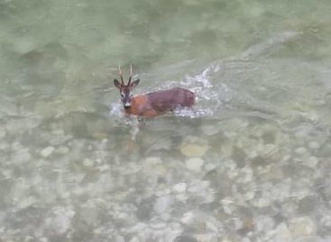 Avvistamento di un giovane esemplare di cervide nel tratto di fiume che attraversa Seravezza